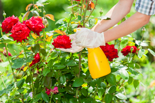 how-to-take-care-of-roses